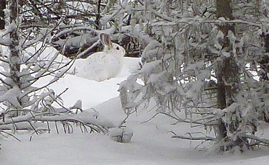 We often see tracks of Snowshoe Hares on the Kane Valley trails, but we seldom see the bunnies themselves. This cooperative Snowshoe Hare was on the Kane trail on Christmas Day.   Photo: Alan Burger